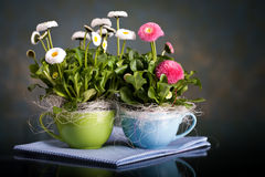 Pot of Bellis perennis Stock Photos