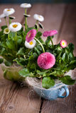 Pot of Bellis perennis Stock Photo