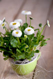 Pot of Bellis perennis. A pot with daisies alias Bellis perennis Stock Image