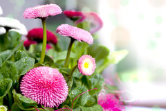 Pot of Bellis perennis. A pot with daisies alias Bellis perennis Royalty Free Stock Photography