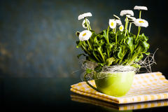 Pot of Bellis perennis Royalty Free Stock Images