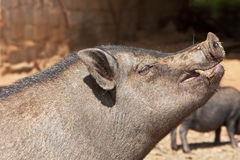 Pot-belly pig Royalty Free Stock Photo