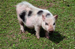 Pot belly pig Stock Photos
