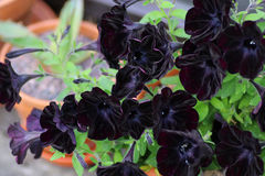 Pot of black petunias. Potted petunias with dark black velvety flowers stock photography