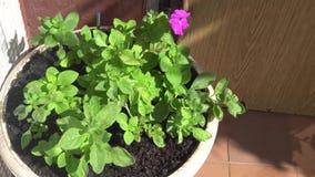 Pot blanc de belles plantes vertes banque de vidéos
