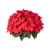 Pot of Bright Red Poinsettia  Royalty Free Stock Images