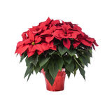 Pot of Bright Red Poinsettia. Isolated on White stock images