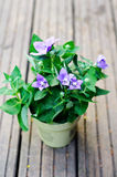 Pot Campanula persicifolia Royalty Free Stock Photo
