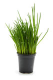 Pot with chives Royalty Free Stock Photography