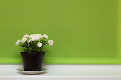 Pot of chrysanthemum flowers Stock Photos