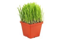 POT con erba verde Immagini Stock Libere da Diritti