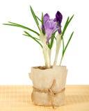 Pot with crocuses on the bamboo cloth Stock Photos