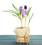 Pot with crocuses on the bamboo cloth Stock Images