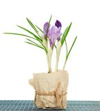 Pot with crocuses on the bamboo cloth Stock Photography