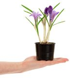 Pot with crocuses in the female hand Stock Images