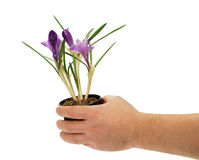 Pot with crocuses in the man's hand Stock Images