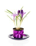 Pot with crocuses on a saucer Royalty Free Stock Photography