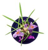 Pot with crocuses on a saucer Stock Image