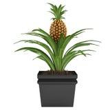 Pot d'ananas Image stock