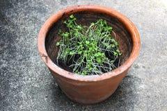 Pot d'argile avec jeune choy Image libre de droits