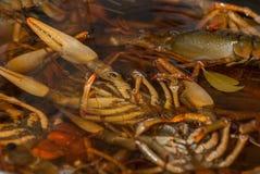 Pot d'eau bouillante avec les écrevisses fraîches de vert de rivière photographie stock libre de droits