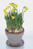 Pot of daffodils Royalty Free Stock Image