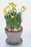 Pot of daffodils. Pot of yellow daffodils in studio Royalty Free Stock Image