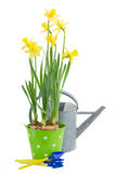 Pot of daffodils with gardening tools Royalty Free Stock Images
