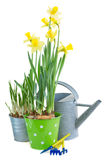 Pot of daffodils with gardening tools Stock Photo