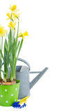 Pot of daffodils with gardening tools Royalty Free Stock Photo