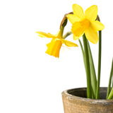 Pot of daffodils, isolated on white Royalty Free Stock Photos