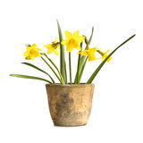 Pot of daffodils, isolated on white Stock Image