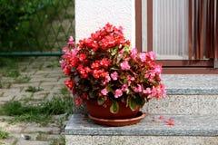 Pot de fleur avec des usines de bégonia avec le vert aux feuilles brun-rougeâtre et aux fleurs rouges et violettes lumineuses ave photographie stock libre de droits