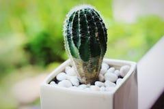Pot de fleur blanc de cactus avec le contexte vert photographie stock libre de droits