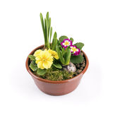 Pot de fleurs avec des fleurs de ressort d'isolement sur le blanc Photographie stock libre de droits