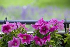 Pot de fleurs avec le pétunia coloré à l'arrière-plan trouble Image stock