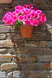 Pot de fleurs avec les pétunias de floraison sur un vieux mur de briques Photos stock