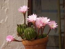 Pot de fleurs de cactus avec les fleurs roses images libres de droits