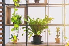 Pot de fougère de nid d'oiseau de plante verte pour autoguider la décoration Photos stock
