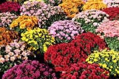 POT dei crisantemi Fotografia Stock Libera da Diritti