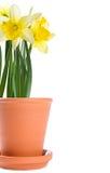 POT dei fiori gialli del Daffodil Fotografia Stock Libera da Diritti