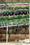 POT della fragola nell'azienda agricola della fragola Fotografie Stock
