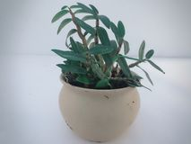 This is a pot of Dendrobium bonsai royalty free stock photo