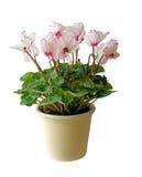 POT di fiore con i fiori dentellare, isolati Fotografie Stock Libere da Diritti