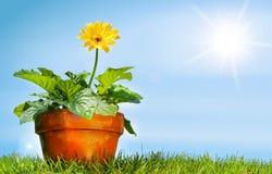 POT di fiore sull'erba Fotografia Stock Libera da Diritti