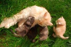 Pot die haar katjes voedt Stock Fotografie