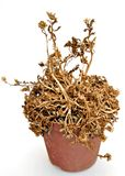 Pot with dried plant Royalty Free Stock Photography