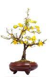 Pot du plan rapproché jaune de fleur d'abricot (l'AMI de Hoa) Photographie stock