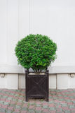 Pot en bois de beau shrubsin décoratif Photographie stock
