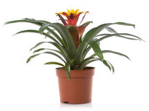 Pot flower. Bromelia flower pot flowers, isolated on white background Royalty Free Stock Images
